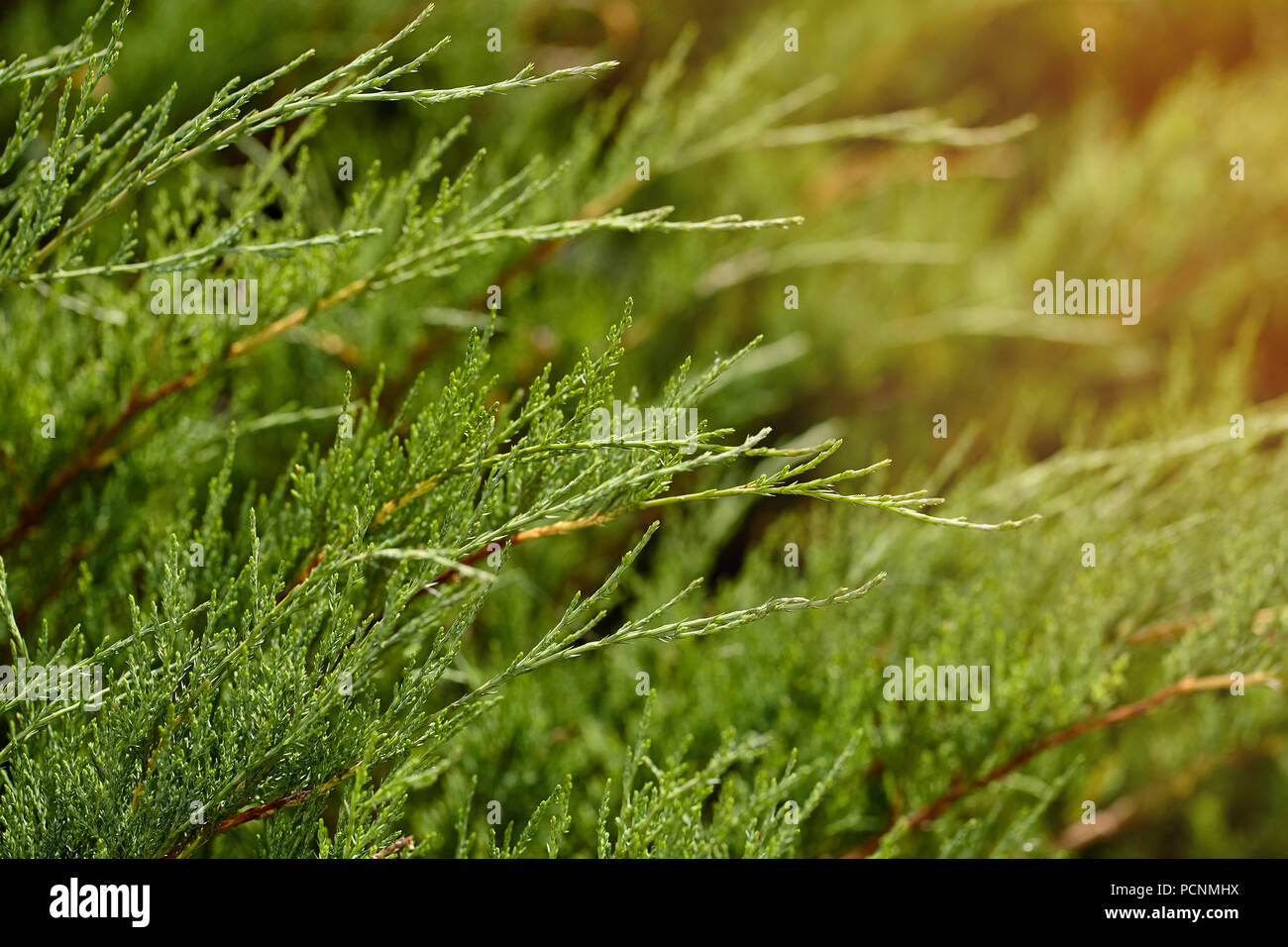 Natural background of green twigs of thuya, selective focus shallow depth of field. Fresh sprigs of tuya in sunlight - Stock Image