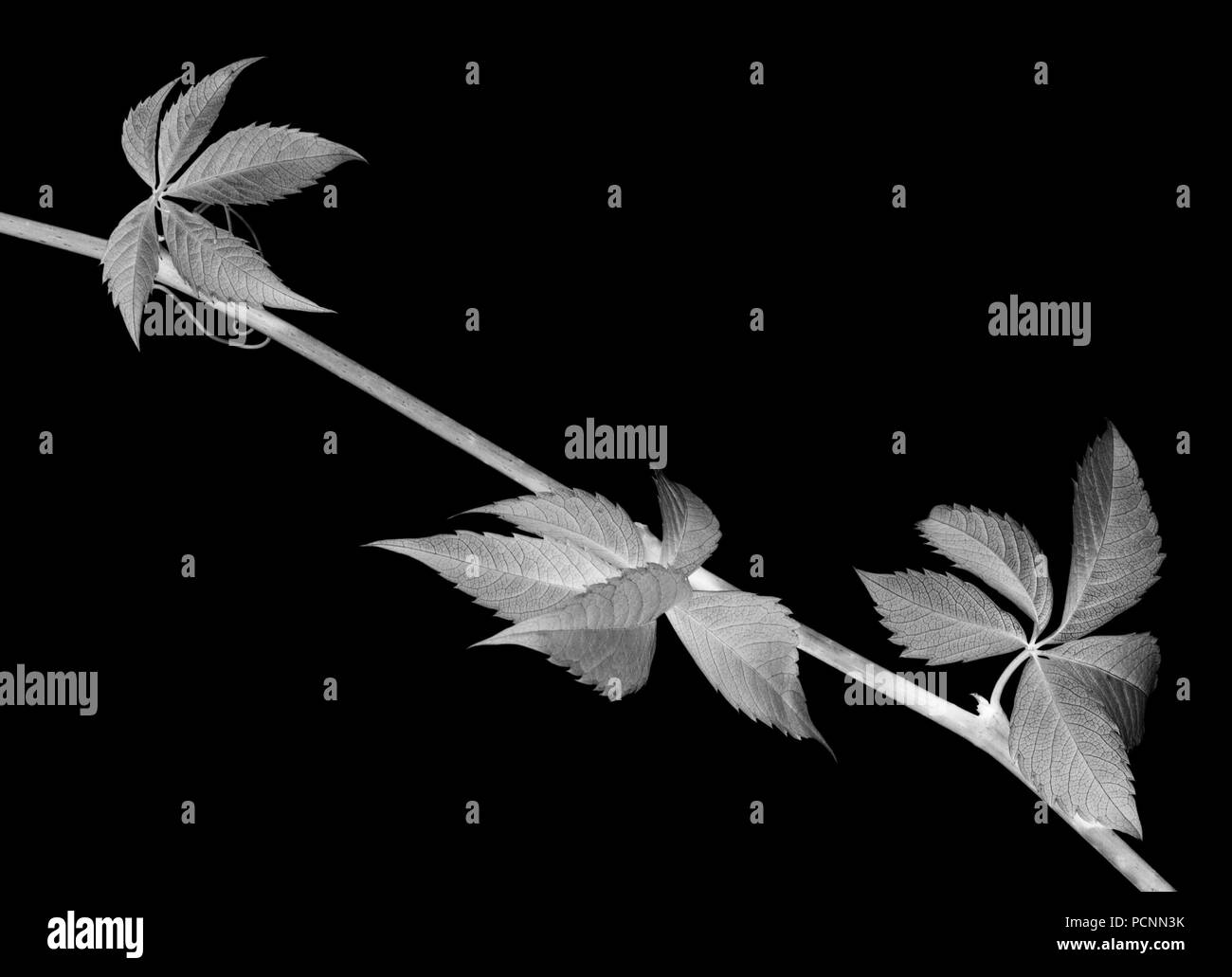 Twig of grapes leaves, parthenocissus quinquefolia foliage. Isolated on black background. Negative picture. - Stock Image