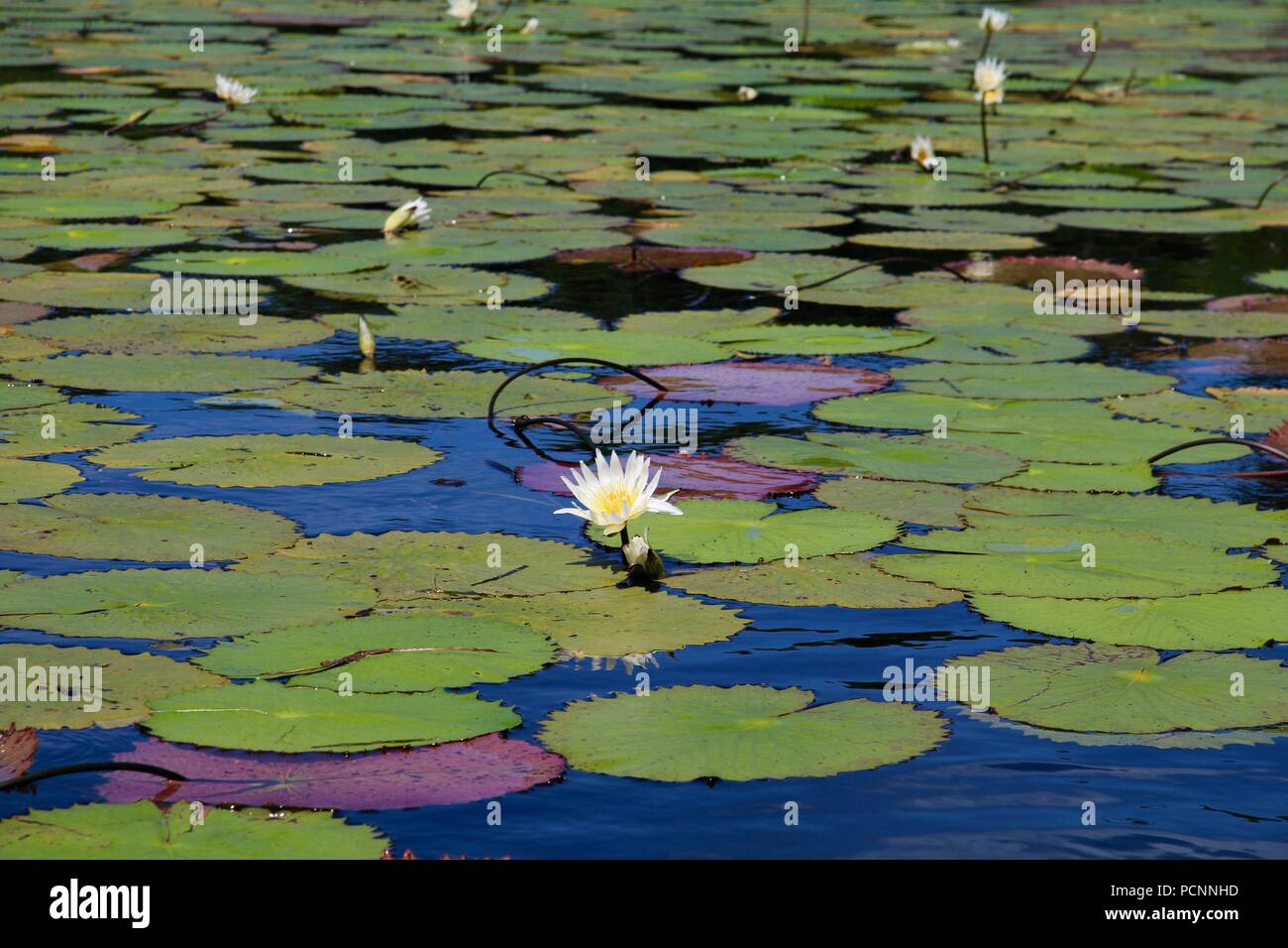 White water lilies in a huge lily patch on a lake in Guatemala - Stock Image