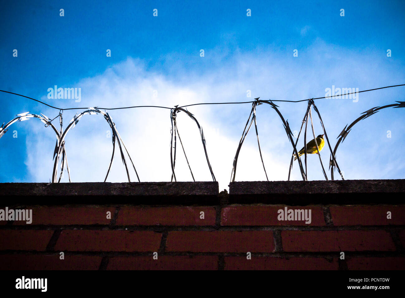 A photo of wall with barbed wire, razor wire, barbwire on the blue, sunny and cloudy sky with little bird inside - Stock Image