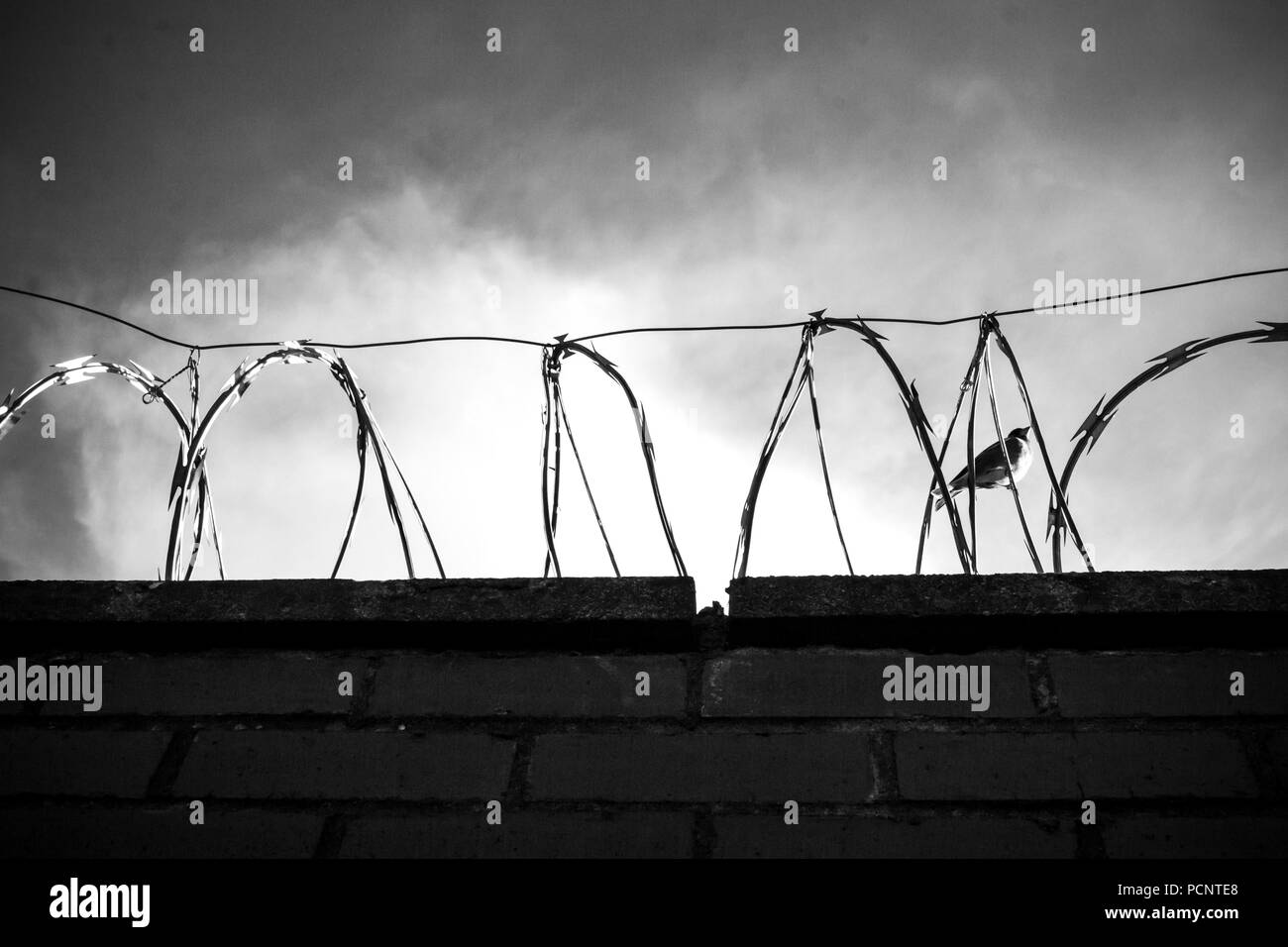Black and white photo of wall with barbed wire, razor wire, barbwire on the cloudy sky with little bird inside - Stock Image