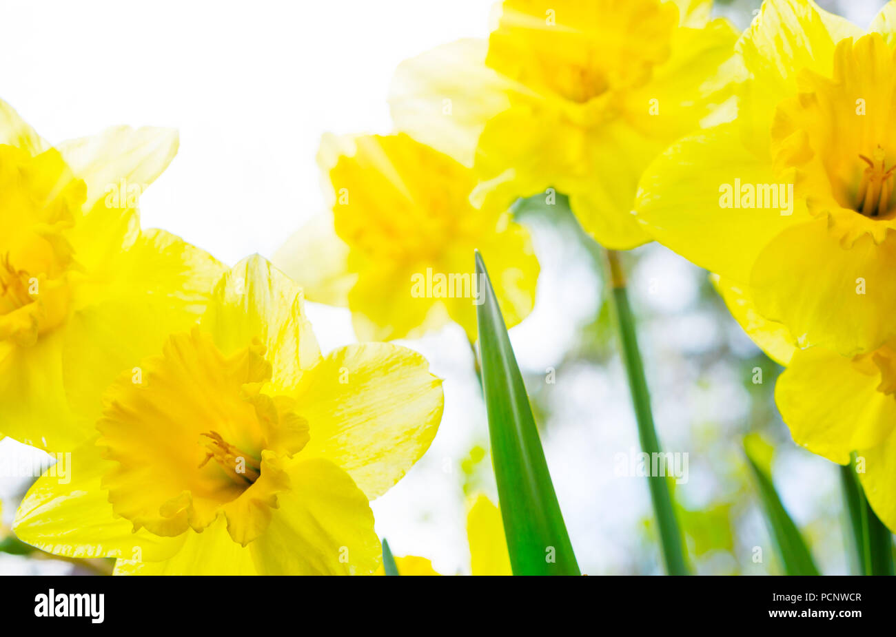 Jonquils in the back light,daffodils Stock Photo