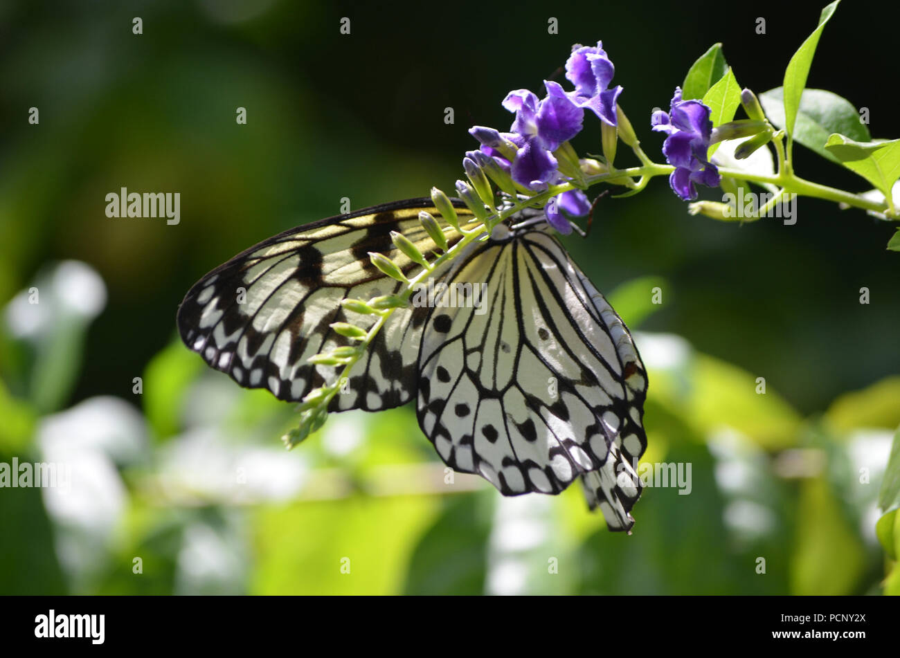 7c19227560921 Gorgeous large tree nymph butterfly on dainty purple flowers Stock ...