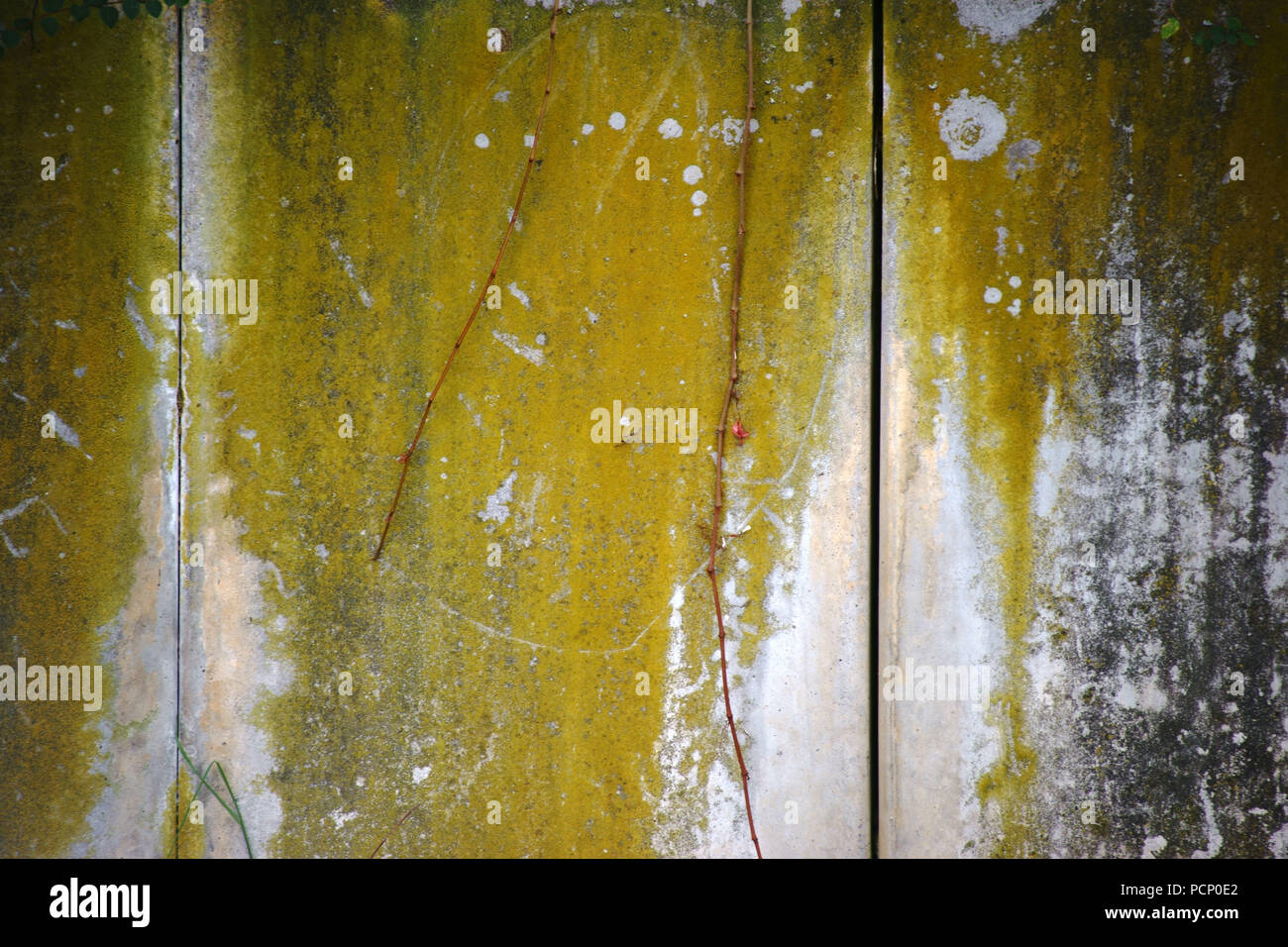 Close-up of green algae and plant remains on the surface of a wall. - Stock Image