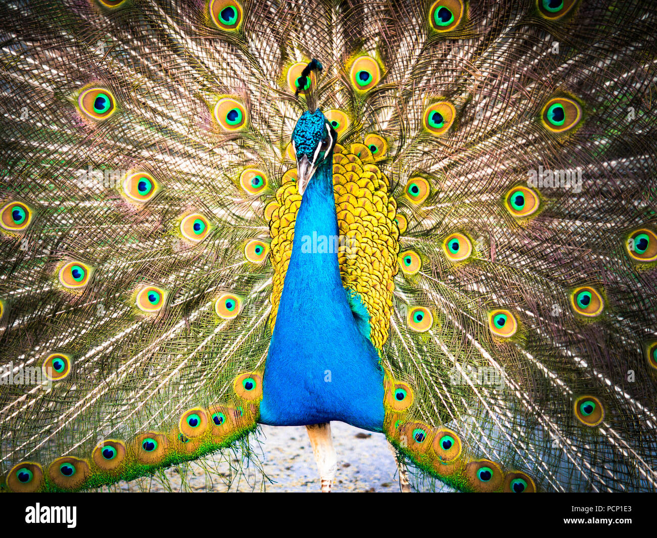 Colorful peacock and its wonderful tail. - Stock Image