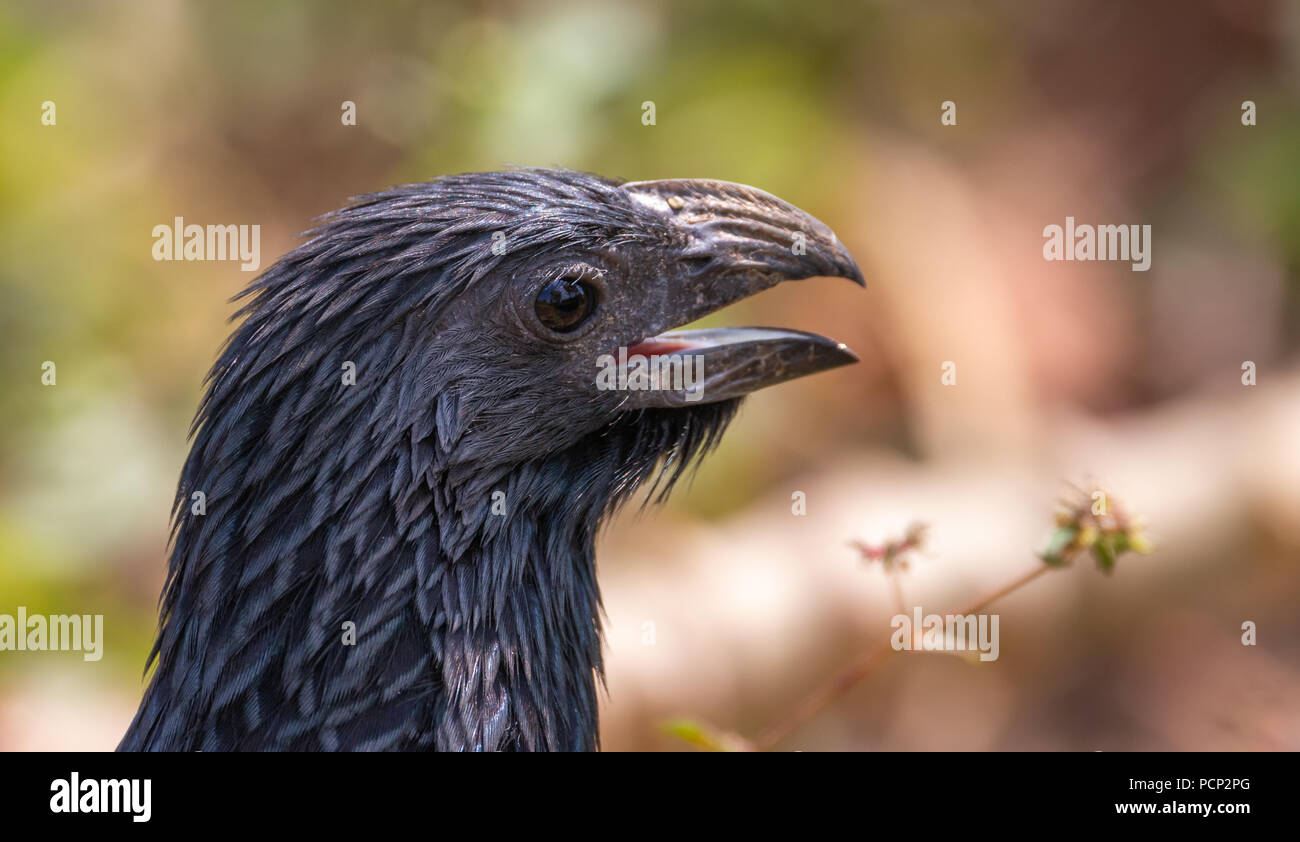 close up portrait of a groove billed ani - Stock Image