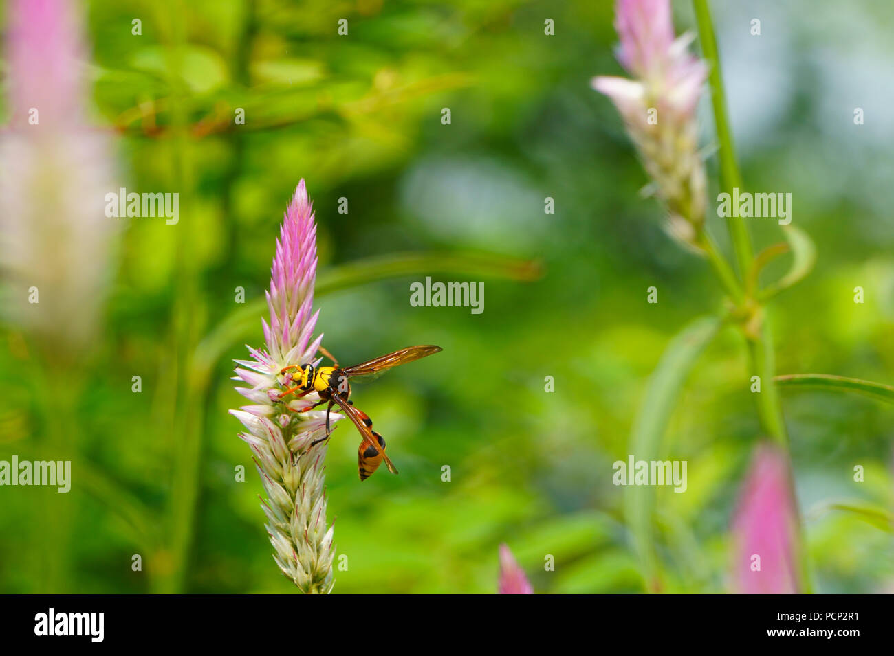 Close up of bee collecting nectar from cockscomb flowers - Stock Image