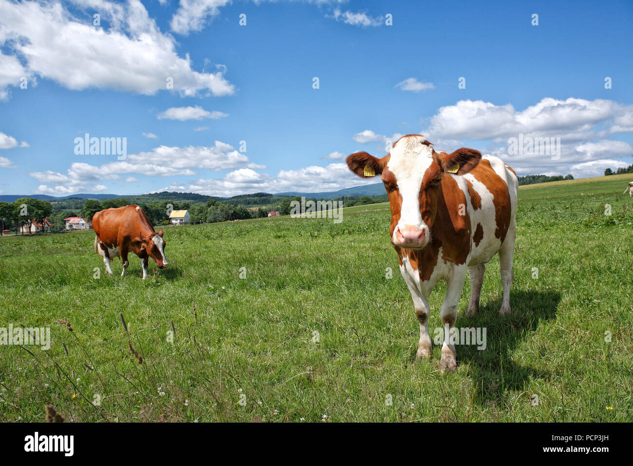 livestock at pastureland nearby lubawka (former liebau). poland, lower silesia, europe - Stock Image