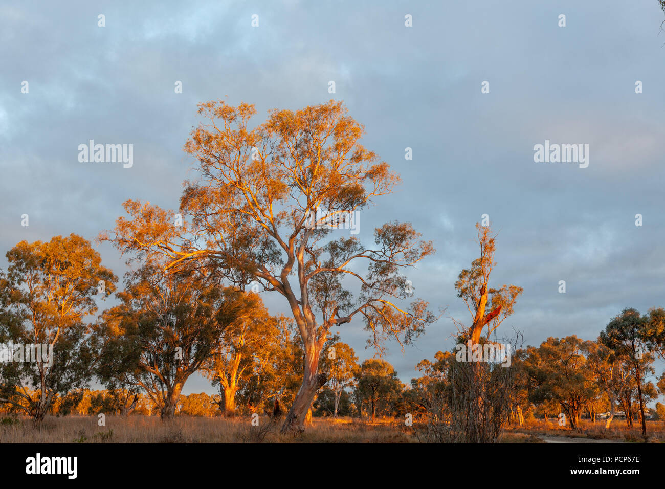 Red gum trees glowing in orange vivid sunset. Riverland, South Australia - Stock Image