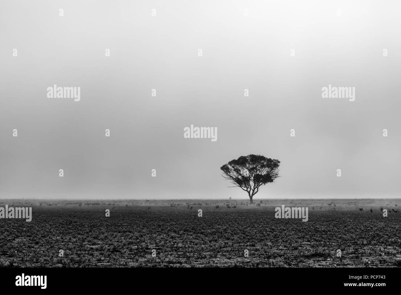 Lone tree in the desert in morning fog in South Australia - Stock Image