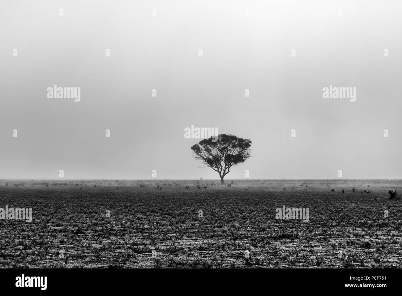 Lonely tree in the morning mist in South Australian desert - Stock Image