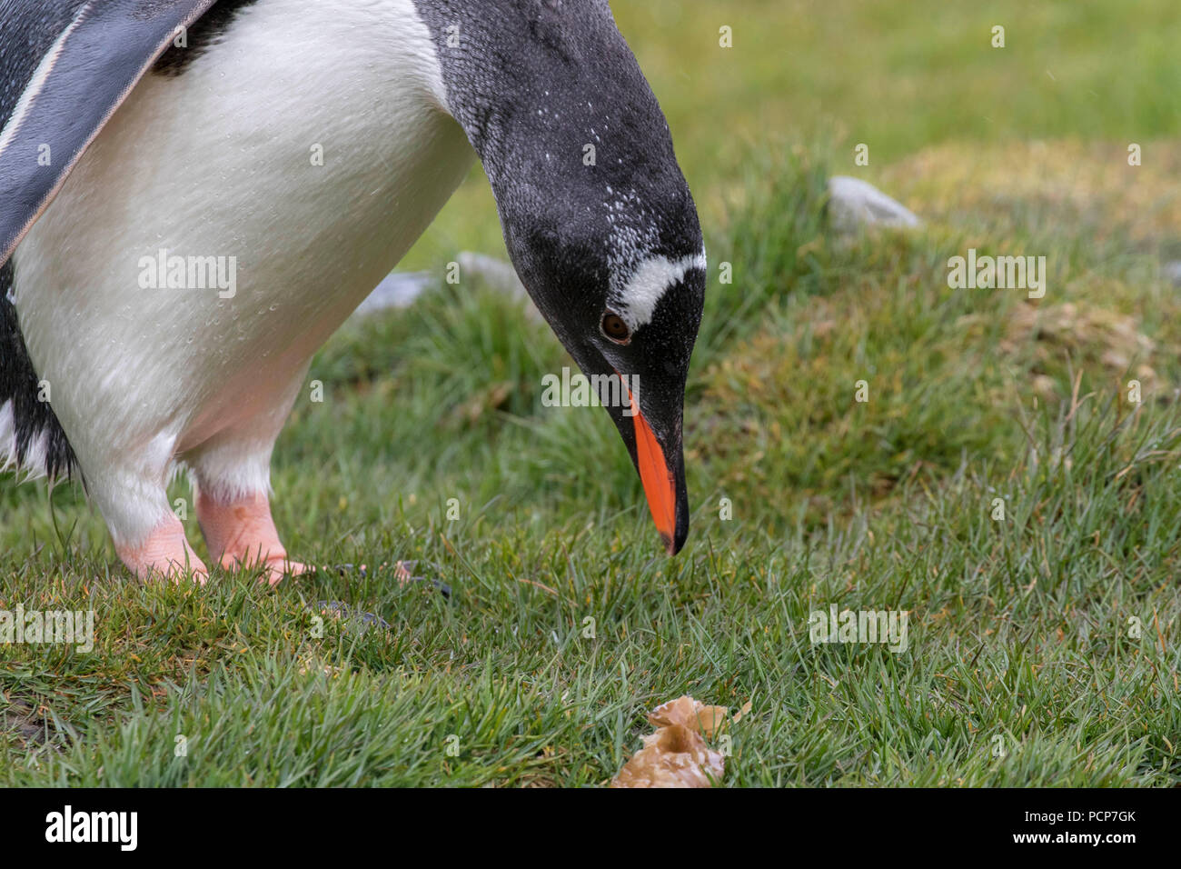 Curious gentoo penguin on  the South Georgia island - Stock Image