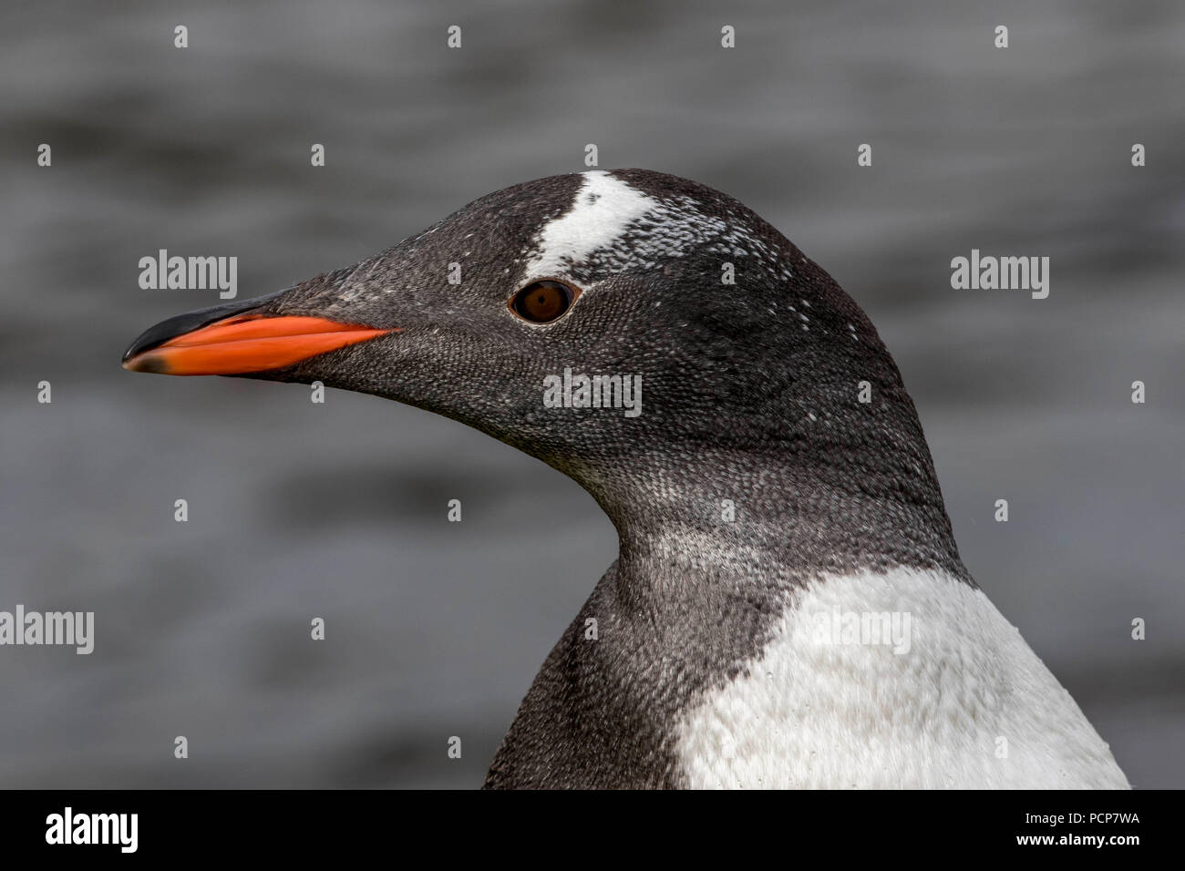Gentoo penguin in South Georgia in the Amtarctic. - Stock Image