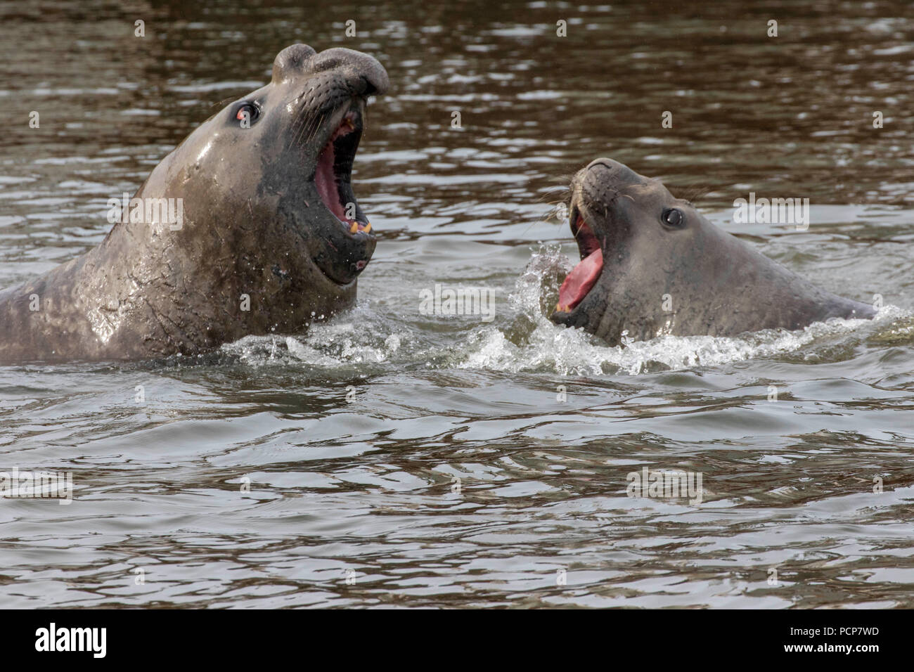 Two juvenile male elephant seals in a mock battle - Stock Image