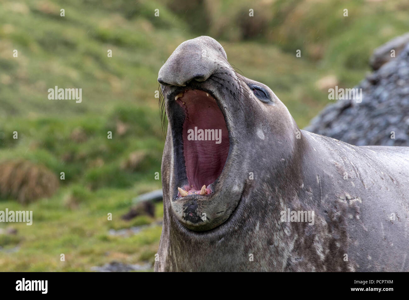 Male elephant seal bellowing to warn off trespasser - Stock Image