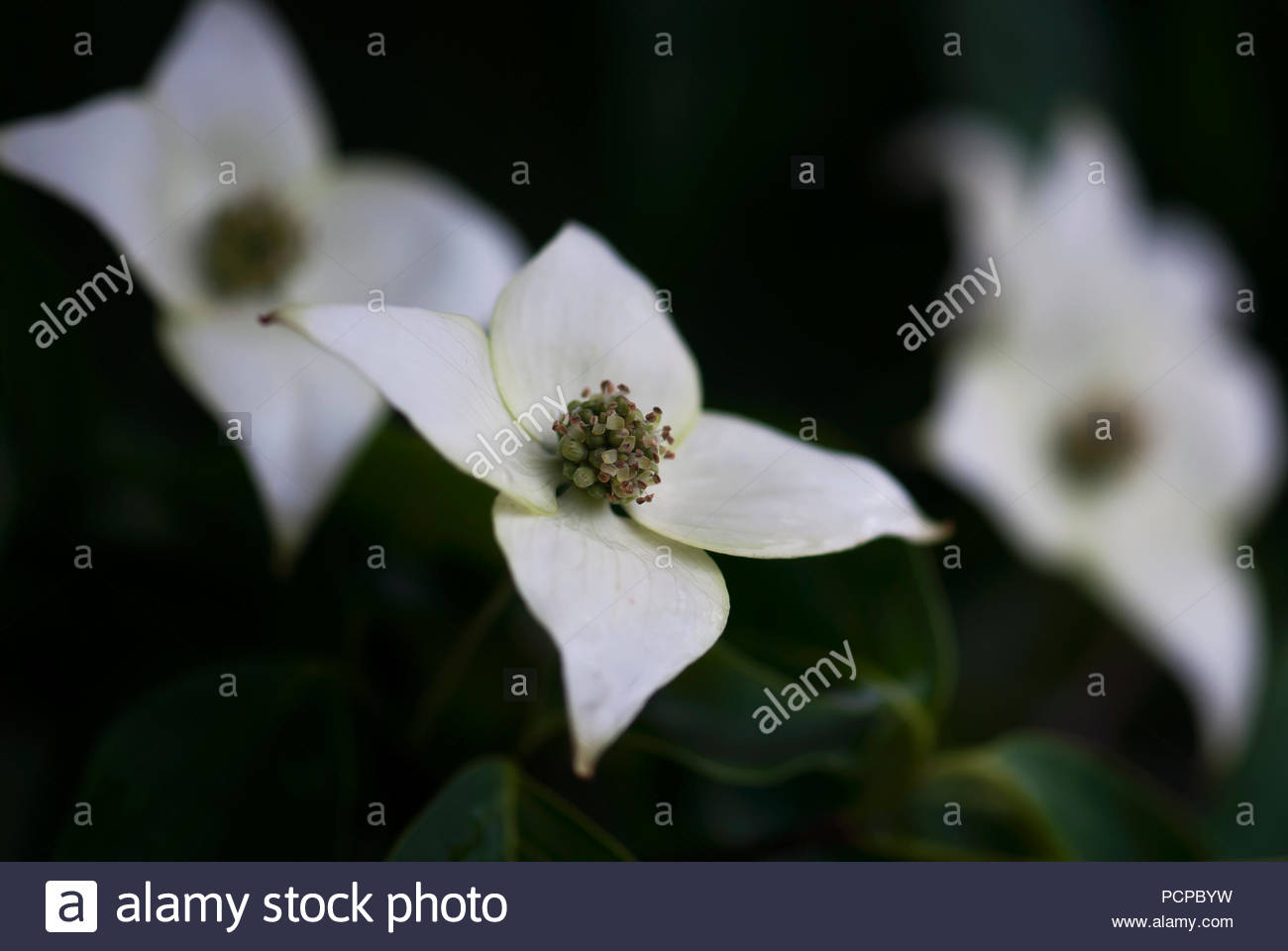 Close Up Branch White Dogwood Stock Photos Close Up Branch White