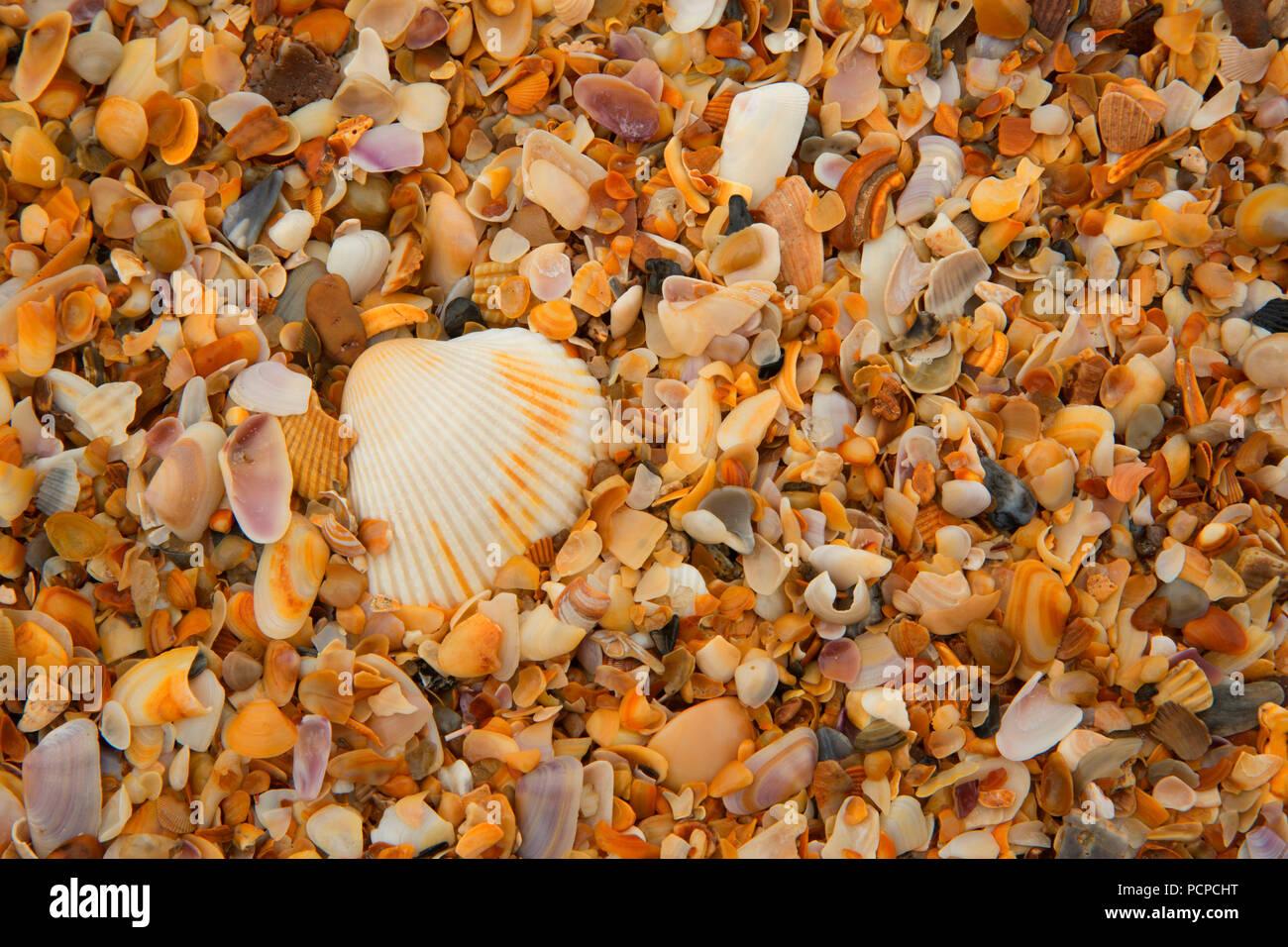 Shells on beach, Guana Tolomato Matanzas National Estuarine Research Reserve,  Florida - Stock Image
