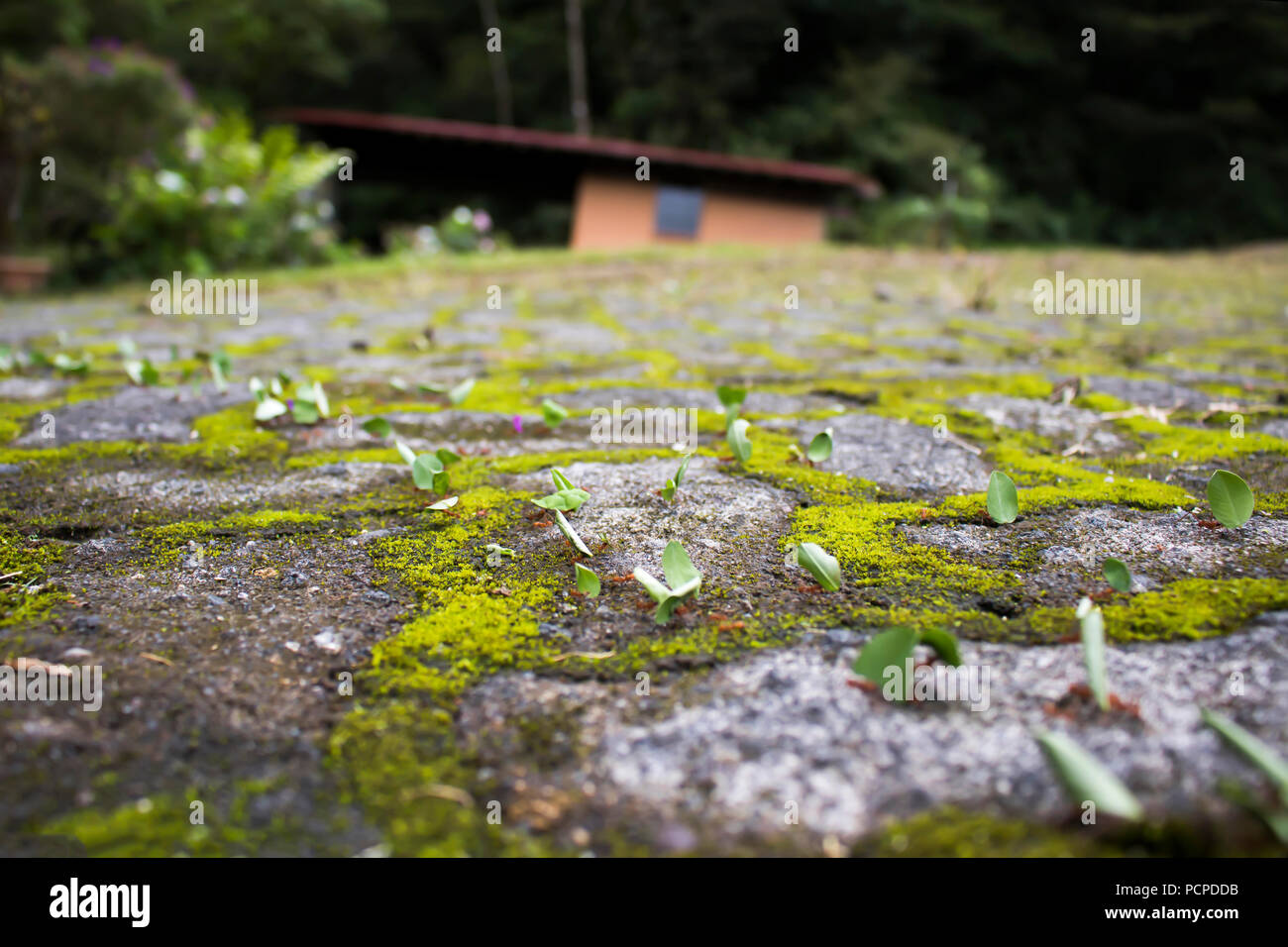 Low angle view line of leaf cutter ants marching on rocks and moss - Stock Image