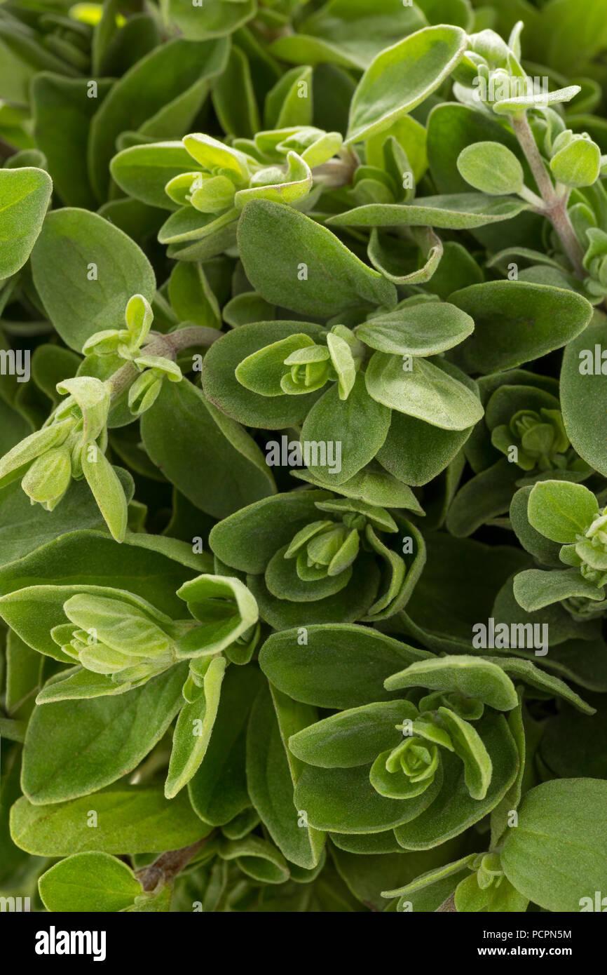 Fresh picked marjoram full frame closeup - Stock Image