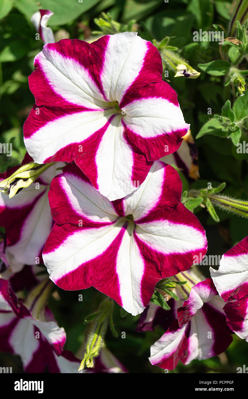 Flower petunia on background of the green herb grows at solar day - Stock Image