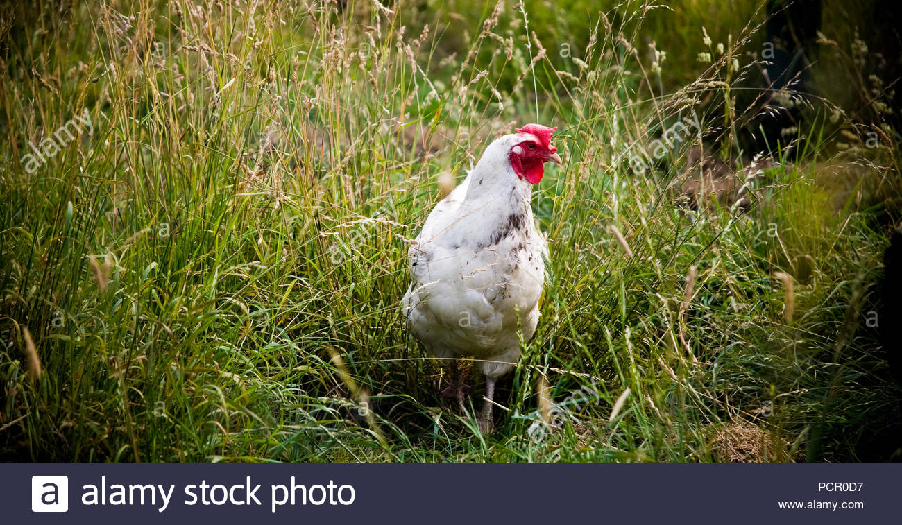Chickens and Hens. Lincolnshire, UK. - Stock Image