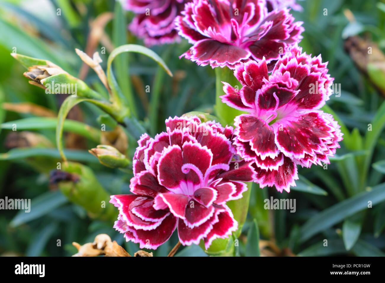 8ebe76430 Sweet William Flower Stock Photos & Sweet William Flower Stock ...