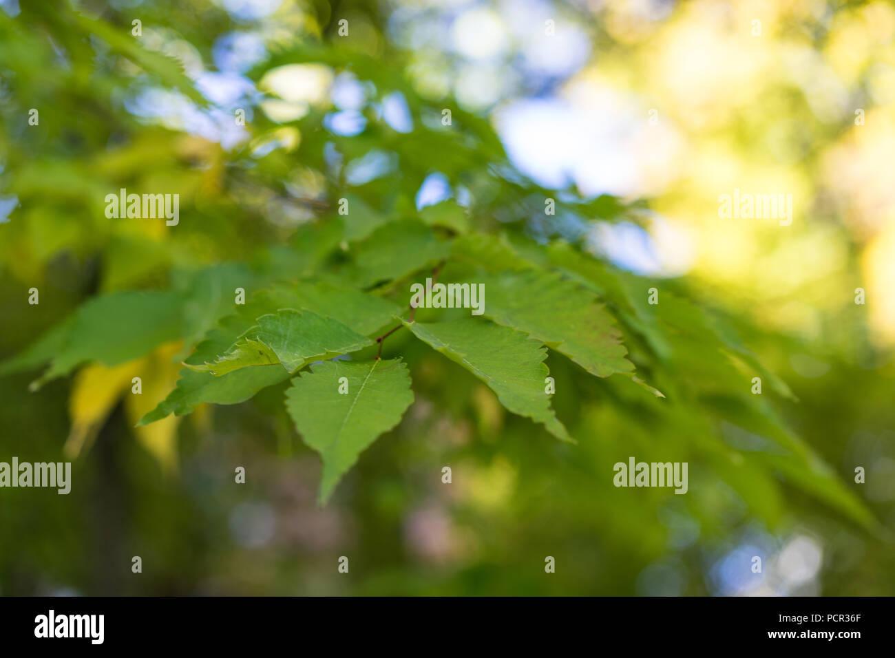 leaves of japanese zelkova serrata close up - Stock Image