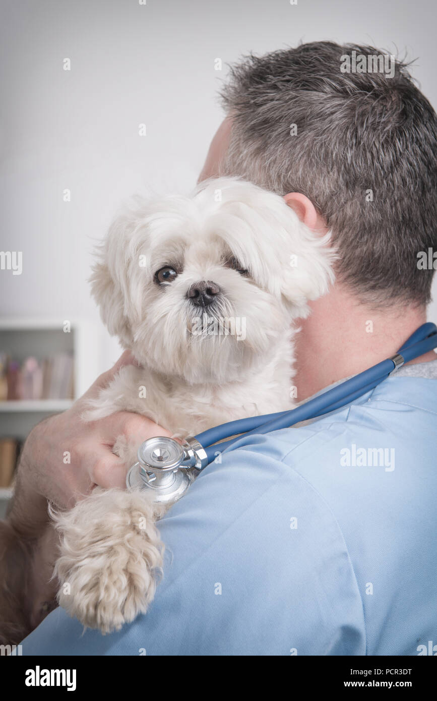 Happy vet with little dog maltese and stethoscope - Stock Image
