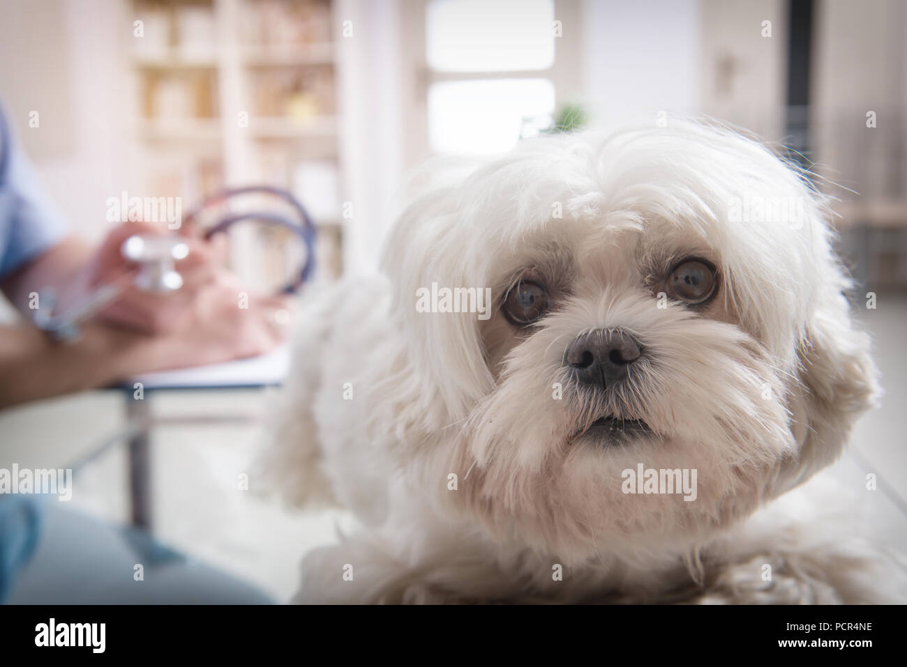 Little maltese dog at the vet office, vet with stethoscope in the background Stock Photo