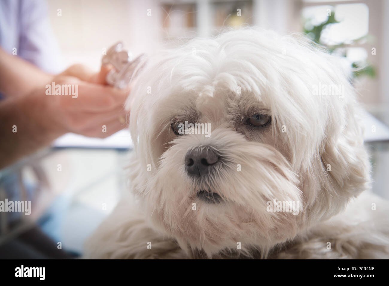 Little maltese dog at the vet office, vet with stethoscope in the background - Stock Image