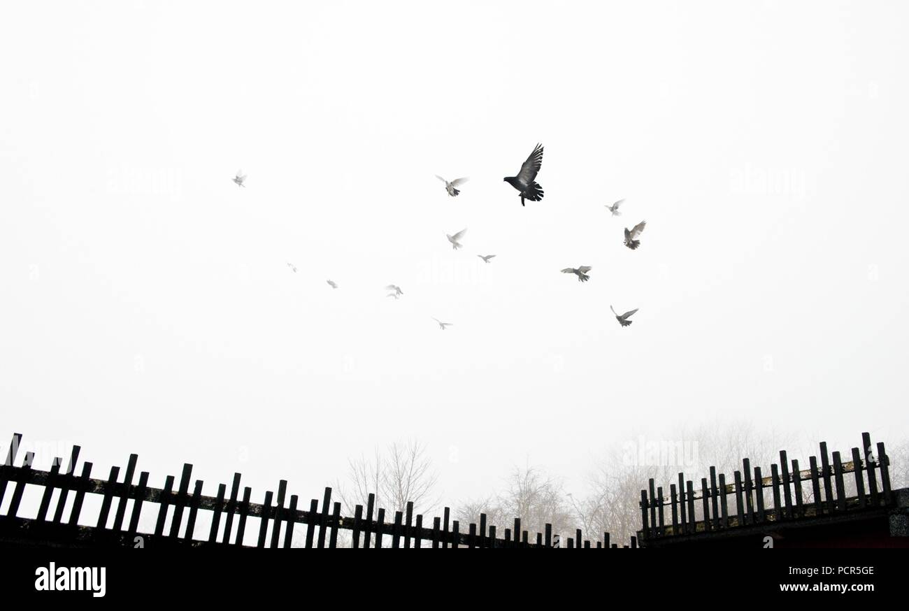 Pigeons flying into the mist from crees, Old Durham Road, Wrekenton, Gateshead, Tyne and Wear, c1980-c2017. - Stock Image