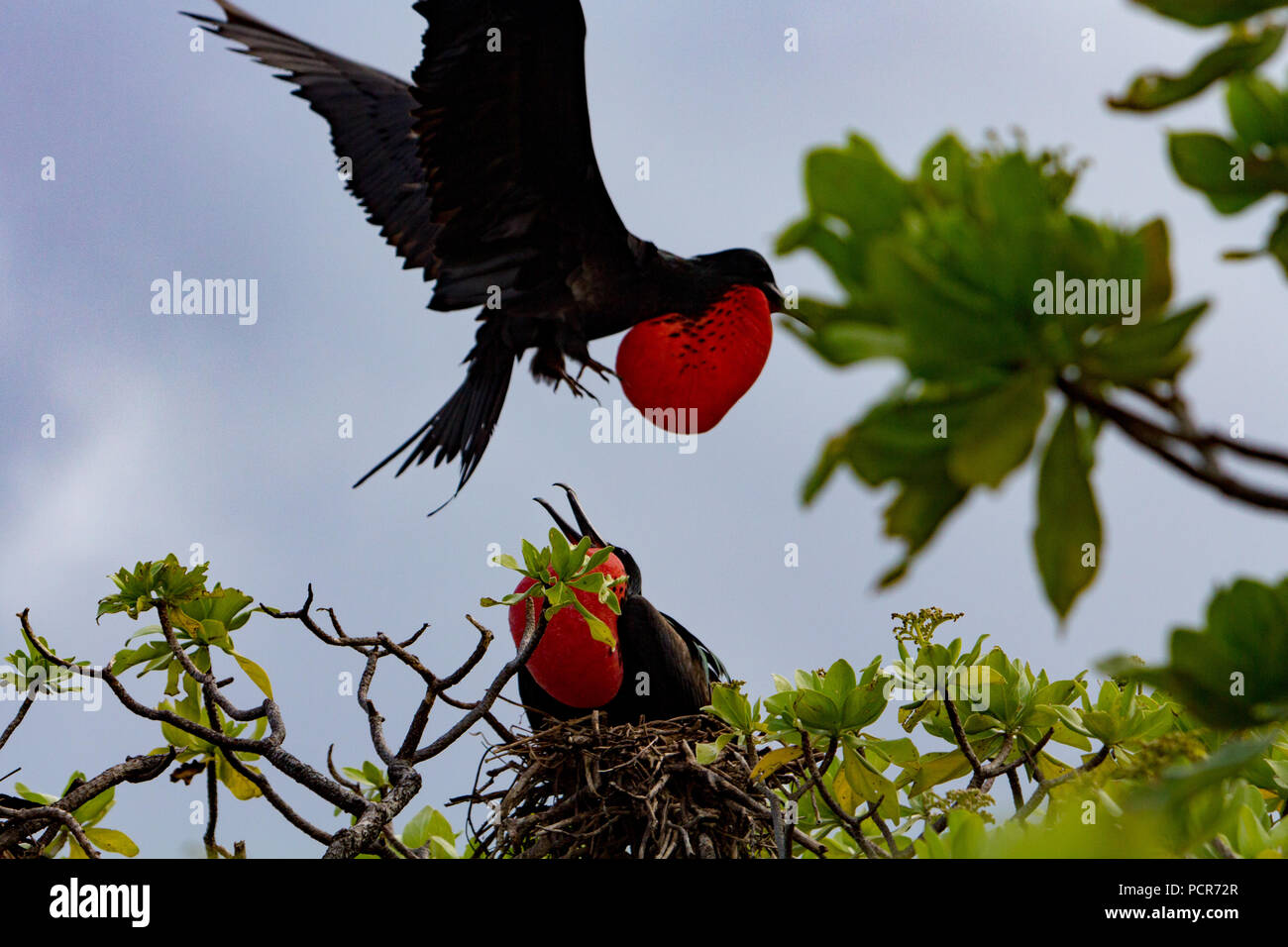 Nesting frigatebirds on Millenium or Caroline atoll in the southern Line Islands of Kiribati. - Stock Image