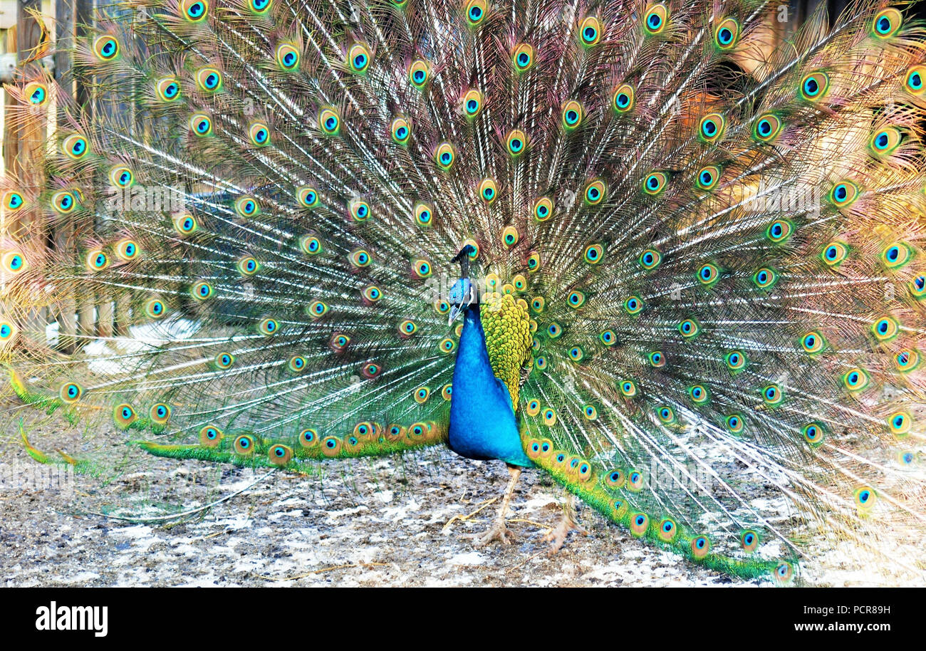 Blue peacock, courtship display, spreading the tail Stock Photo