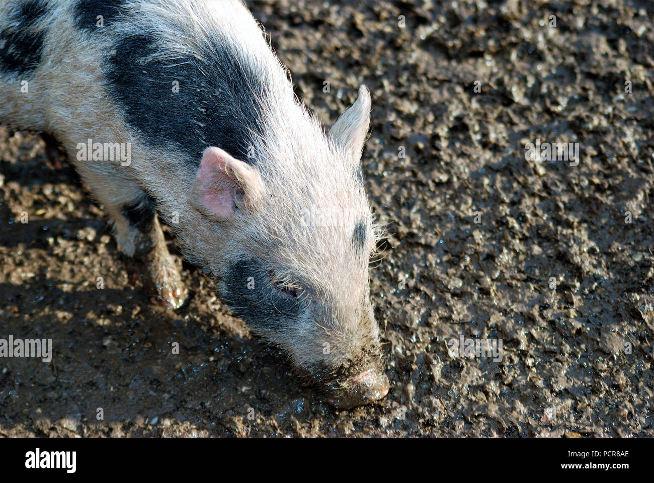 A piglet sniffing in the mud of an animal park - Stock Image