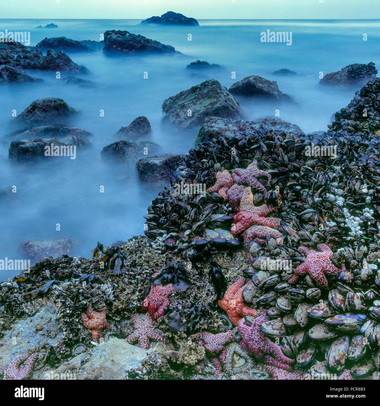 Tidepool, Seastars, Asteroidea, Burton Wilderness, Point Reyes National Seashore, Marin County, California - Stock Image