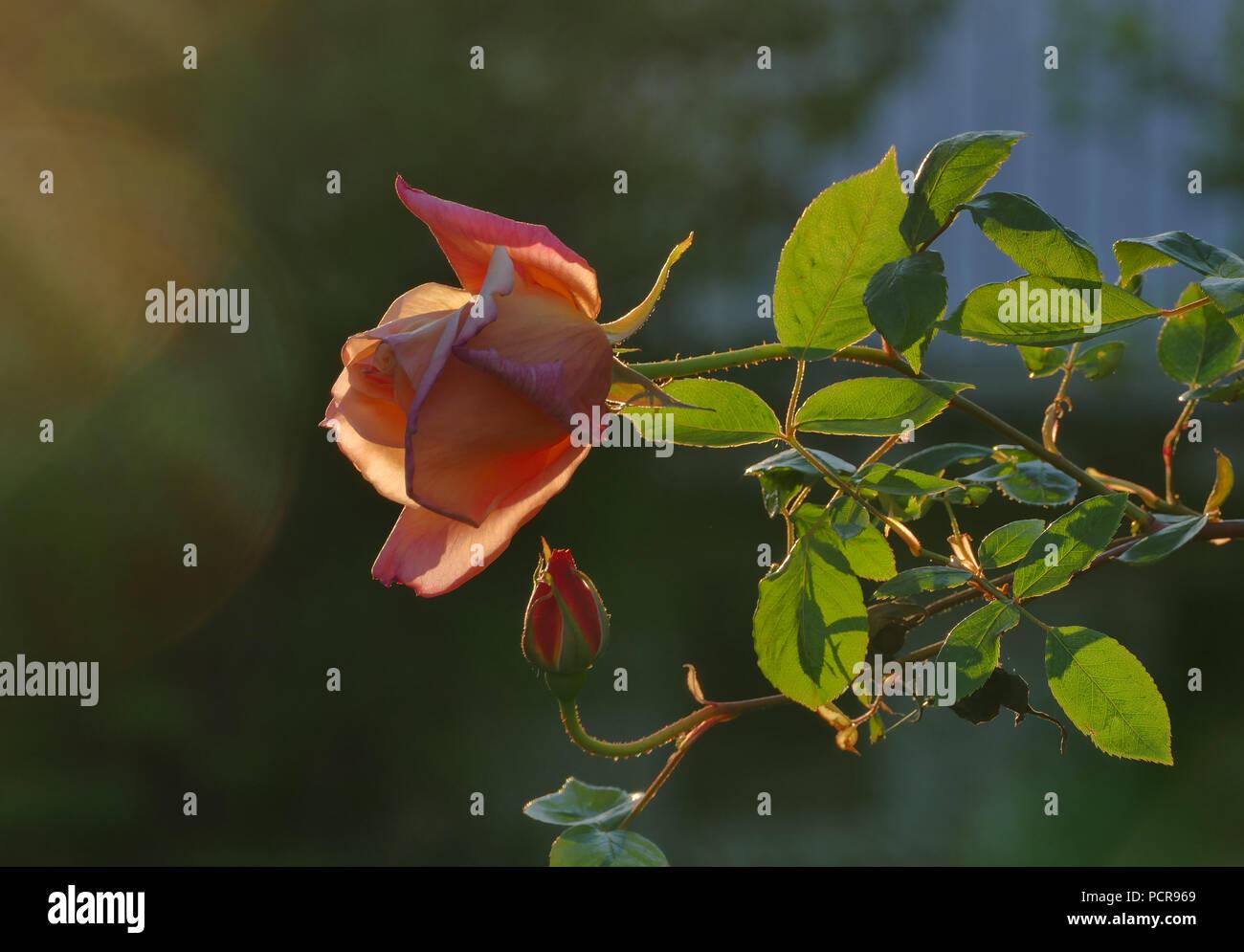 Orange rose in the sunshine - Stock Image