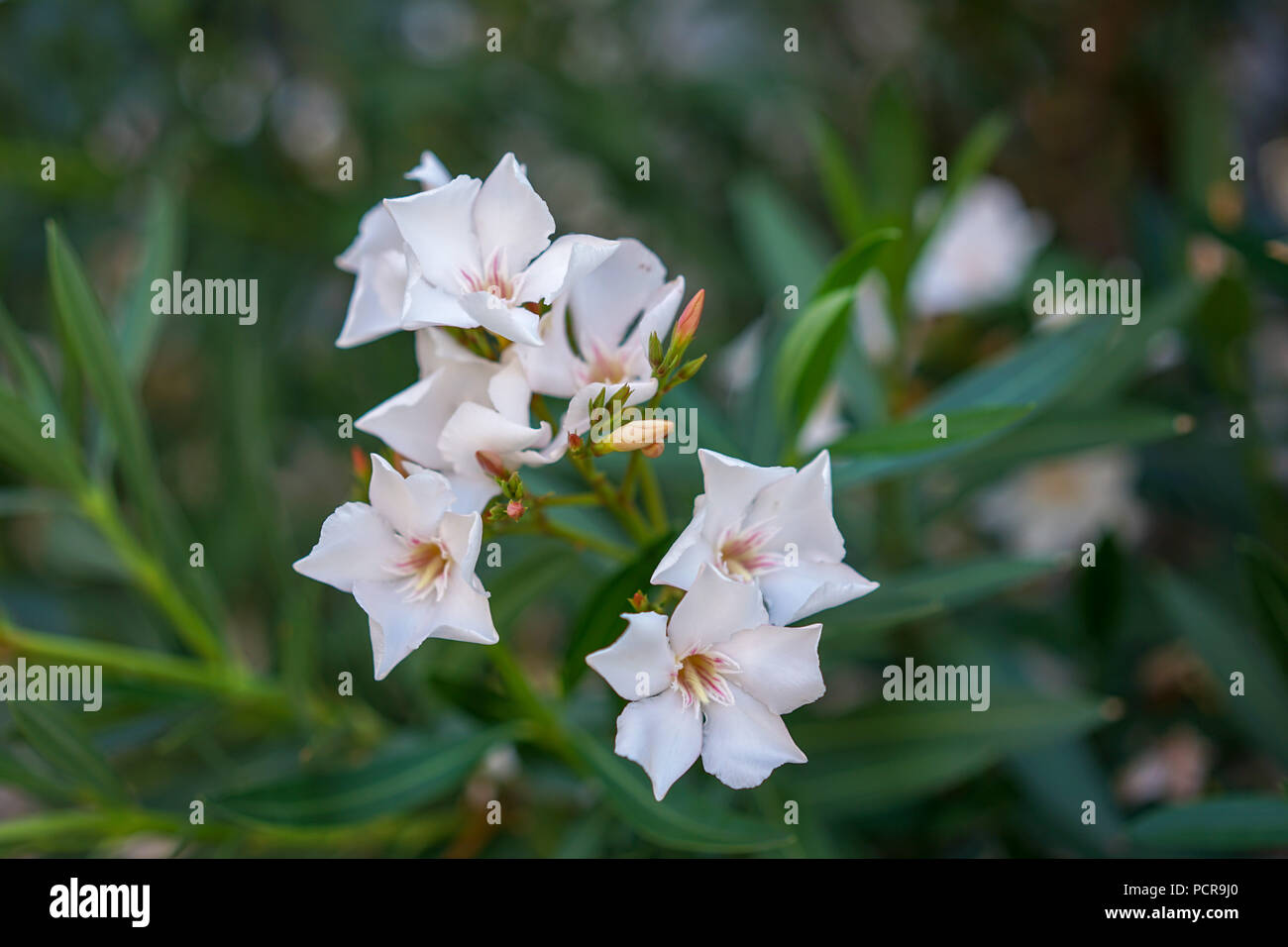 White oleander flowers nerium oleander from the mediterranean sea white oleander flowers nerium oleander from the mediterranean sea area mightylinksfo