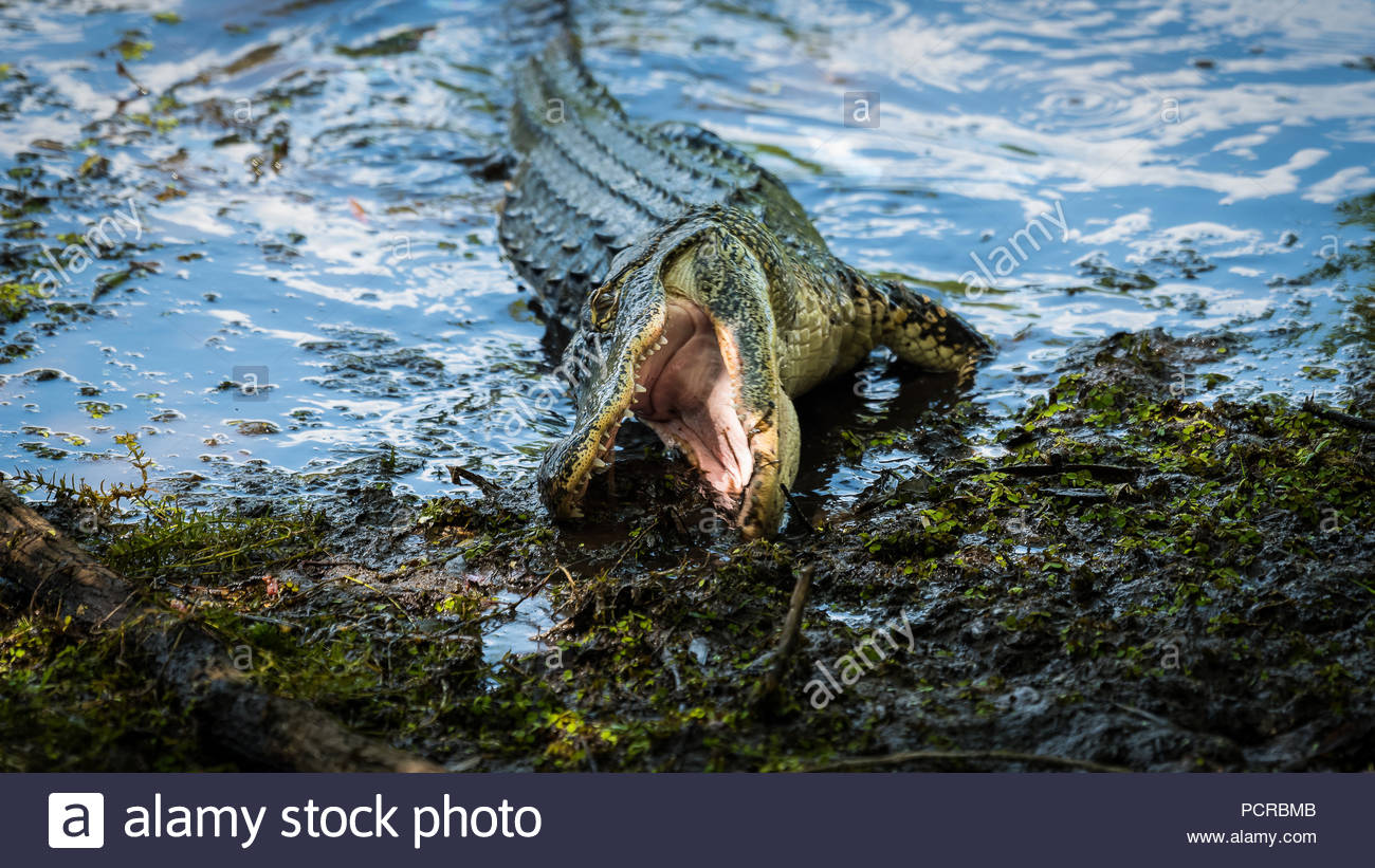 Hungry gator at Lettuce Lake Park in Tampa Florida. - Stock Image
