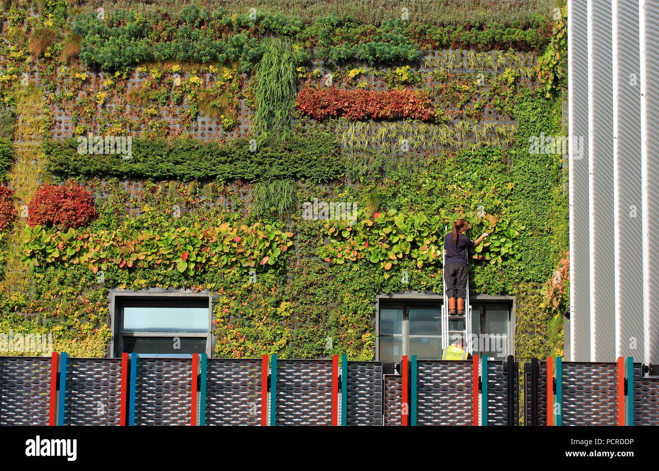 Gardener On The Ladder Planting Large Vertical Garden On The Wall Of  Building In Camden Town