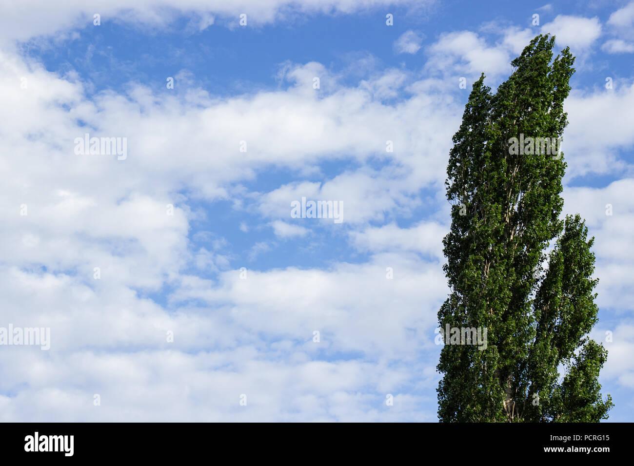 Big tree, wind, blue sky , white clound. - Stock Image