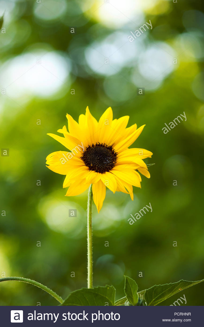 A bright, yellow sunflower blooms against a green background on a warm summer day. - Stock Image