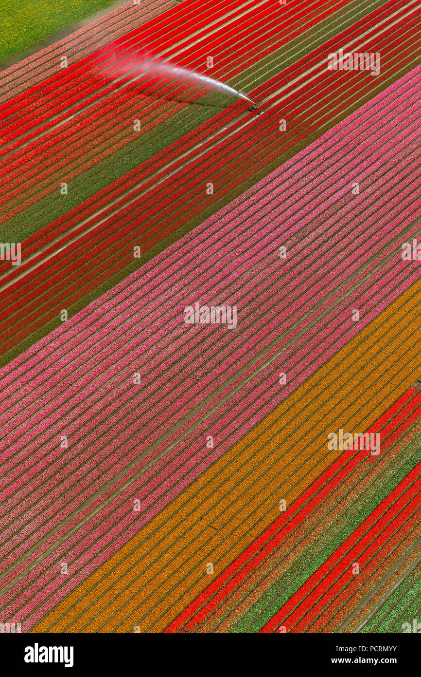 Field irrigation, water cannon, tulip fields, agriculture, colorful tulip fields, tulips (lat.Tulipa), ornamental flowers, Zeewolde, Holland, Flevoland, Netherlands, Europe - Stock Image