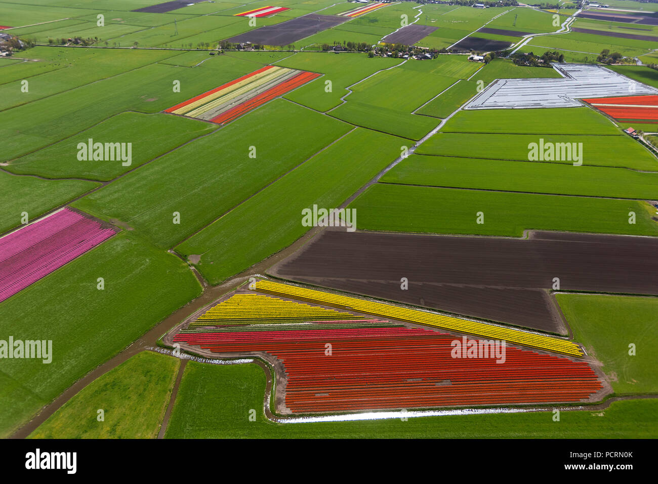 Tulip fields, agriculture, colorful tulip fields, tulips (lat.Tulipa), ornamental flowers, Zuidermeer, Holland, North Holland, Netherlands, Europe Stock Photo