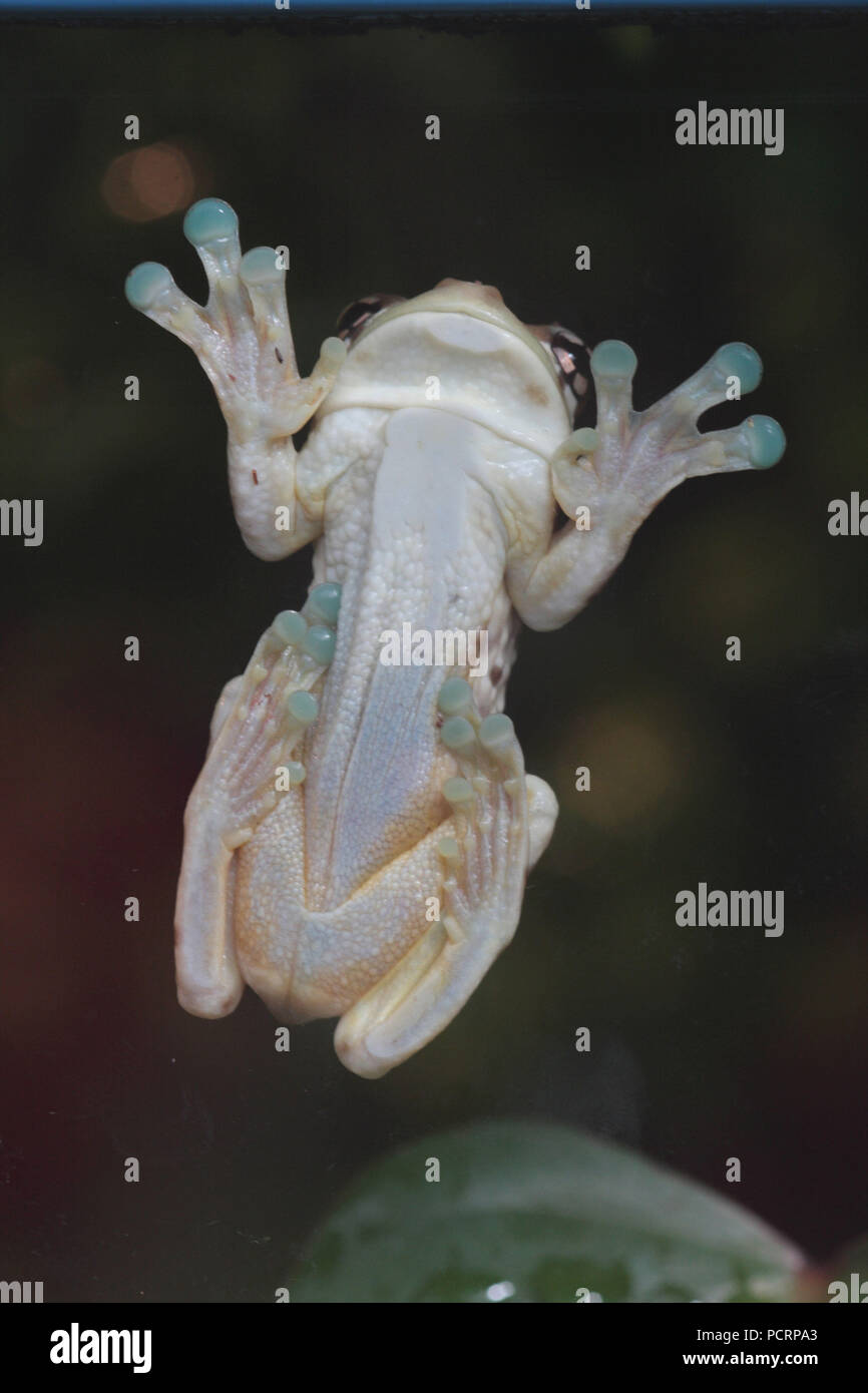 Mission golden-eyed tree frog sitting on a pane, bottom side - Stock Image