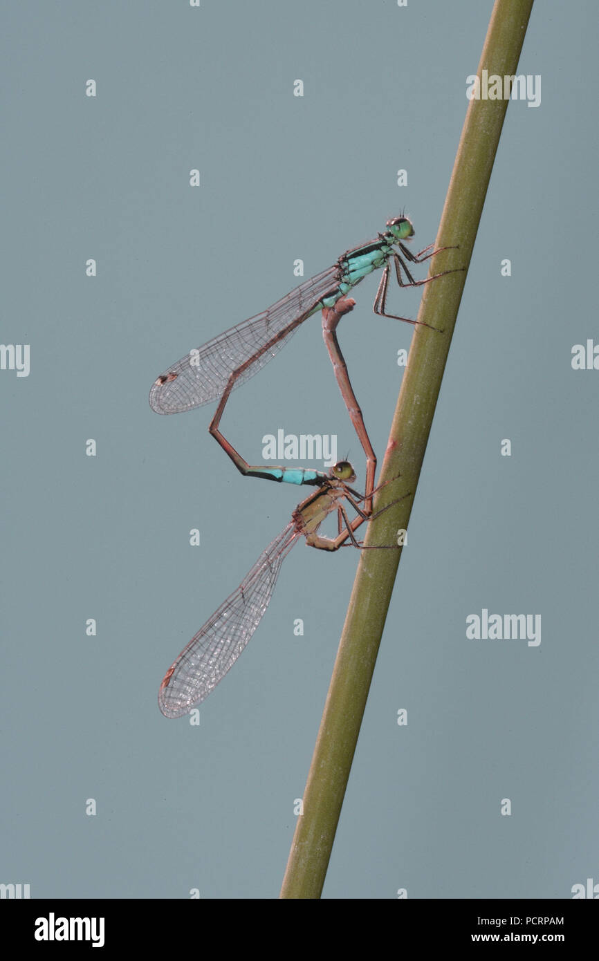 Dragonflies mating - Stock Image