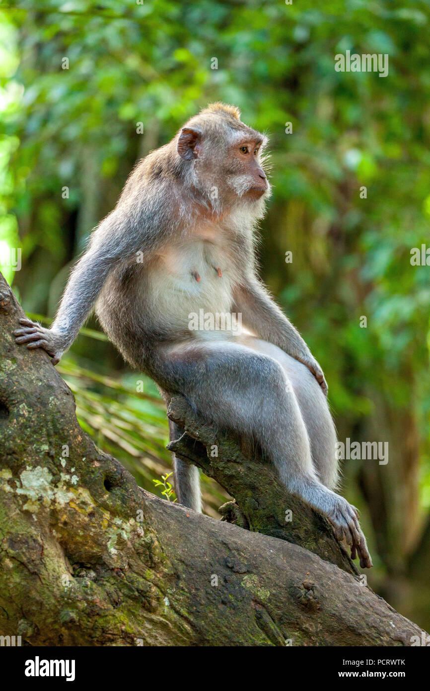 Long-tailed macaque (Macaca fascicularis), Relaxed Monkey, Ubud Monkey Forest, Sacred Monkey Forest Sanctuary, Padangtegal, Ubud, Bali, Indonesia, Asia - Stock Image
