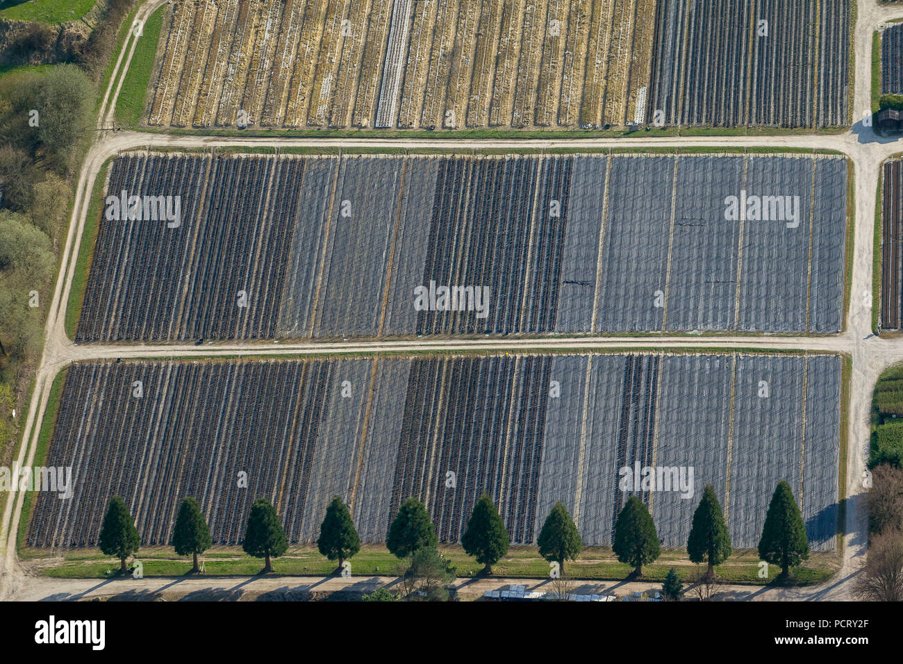 Row of Sequoia family (Sequoioideae) family of cypress plants in front of production rows of fruit trees, nursery garden Kramer, aerial photograph of Detmold Stock Photo