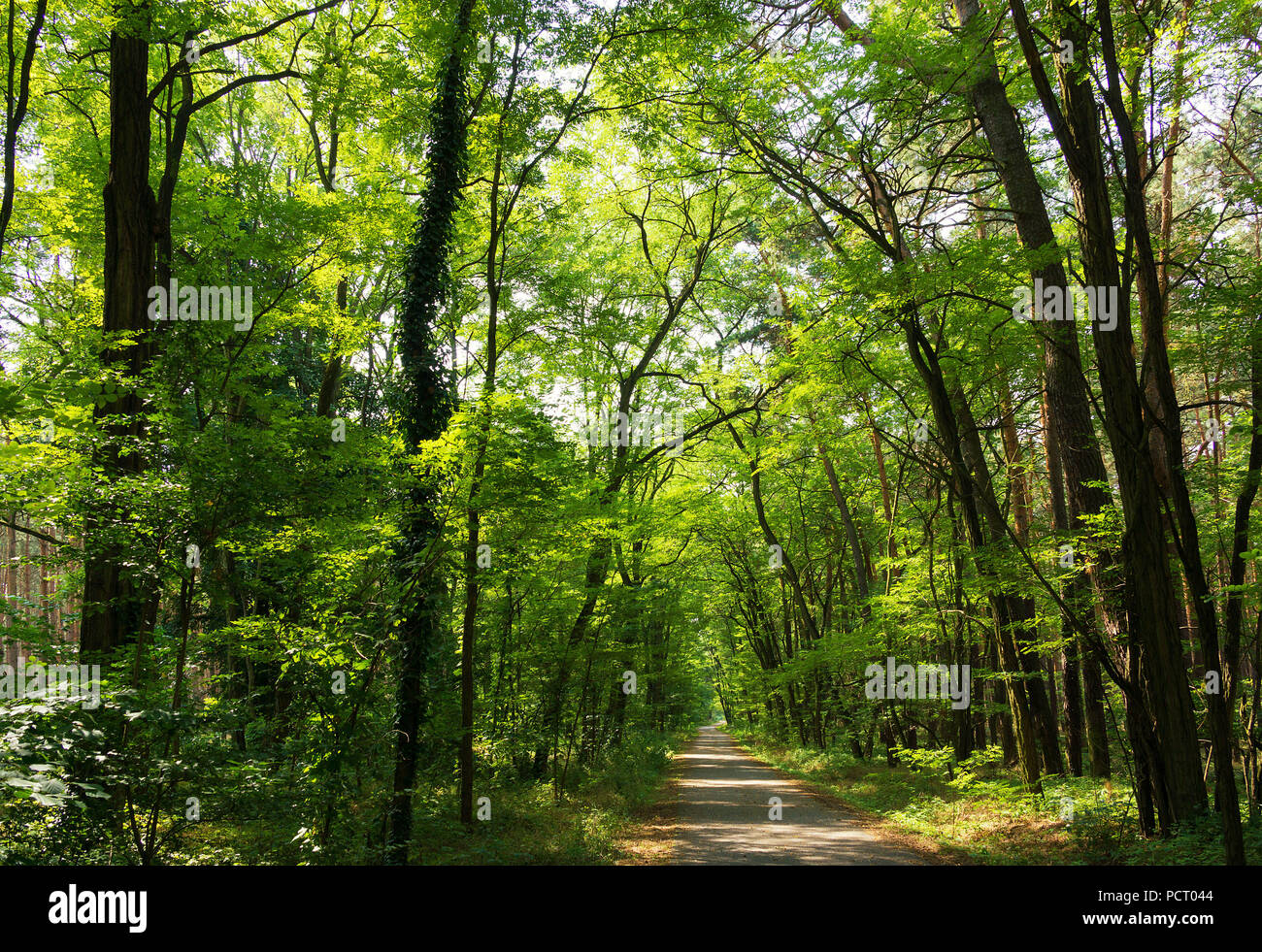 European cycle route R1, Brandenburg State, forest path - Stock Image