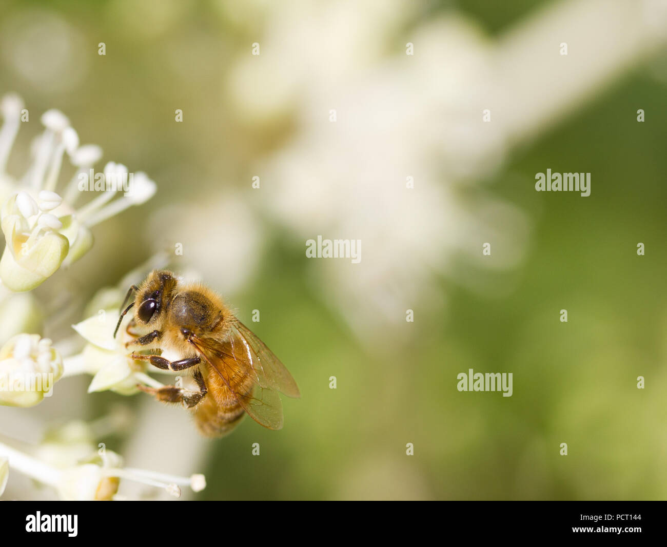 Bee collecting pollen on White flower with blurred green background photo Stock Photo