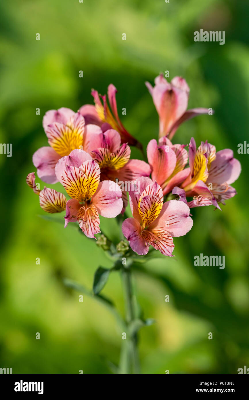 beautiful alstroemeria tricolour, hybrid pink and yellow flowers peruvian lily or lily of the incas. Stock Photo